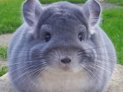 聽過全世界最可愛的動物嗎?絨鼠屁屁圓圓胖胖好像假的啦>///<