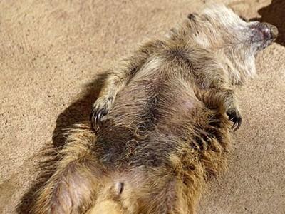 被驚醒下一秒又倒下睡死,小狐獴和睡魔奮戰:我..我沒睡著..