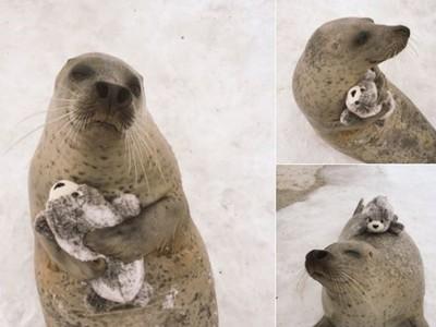 正牌也淪陷!大海豹萌抱布偶海豹,輸給自己的魅力啦