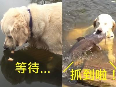 幫自己加菜!黃金獵犬用麵包屑當餌 不只釣魚還釣烏龜