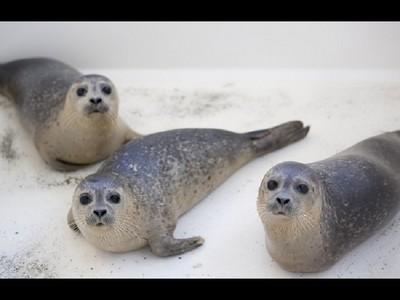 見小海豹在海灘擱淺,女子好心救牠回家後結果卻悲劇..