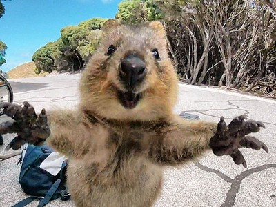 全世界最快樂的動物!路上撞見短尾矮袋鼠,牠搶我鏡頭討抱抱