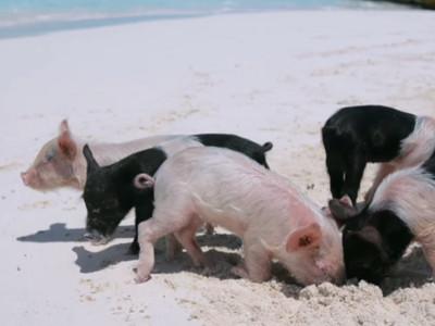 加勒比海秘境「豬豬島」被遊客玩爛..地上躺著曾經快樂的小豬屍體