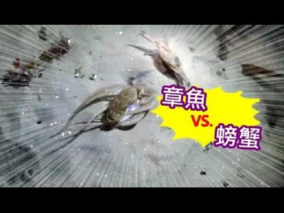 章魚vs.螃蟹激烈大戰!正以為章魚要贏了..卻被海豹一口吃掉