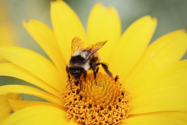 ▲蜜蜂、向日葵。(圖/取自LibreStock)