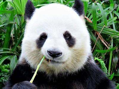 為什麼熊貓是黑白?專家解密:嚇唬敵人專用「霸王色」