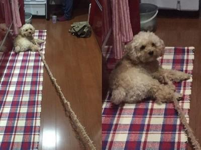 主人買「和狗狗同色系」牽繩 網驚:貴賓脫線了!