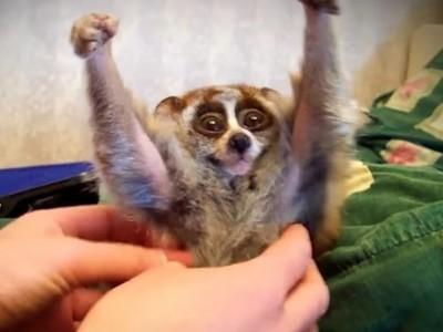 「一旦知道就很難過的知識」 懶猴被搔癢為什麼會舉手?