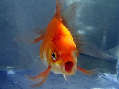 扯!無聊男「丟280隻金魚進運河」辯放養 政府:給你一個月撈出來