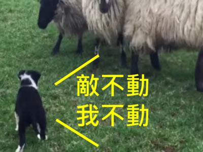 傳承第五代牧羊犬驕傲基因!狗寶寶第一天上班,氣勢100分~
