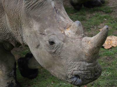 21頭白犀牛全面鋸角 唯一繁殖成功的動物園:這樣才能救牠們