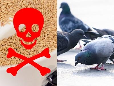 小麥研磨機「吞沒活鴿」影片 釣出病態網友:越看越療癒