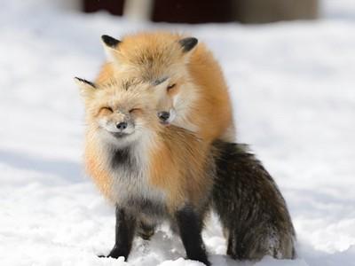 你看過這麼幸福的動物嗎?狐狸夫妻啪啪啪眼睛都彎到笑啦