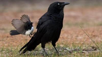 8+9小鳥找大鵰幹架!看似不怕死行為真相:其實是交配