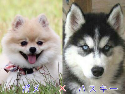 犬界最萌混血兒 博美的嬌小、哈士奇的威嚴都兼顧到了!