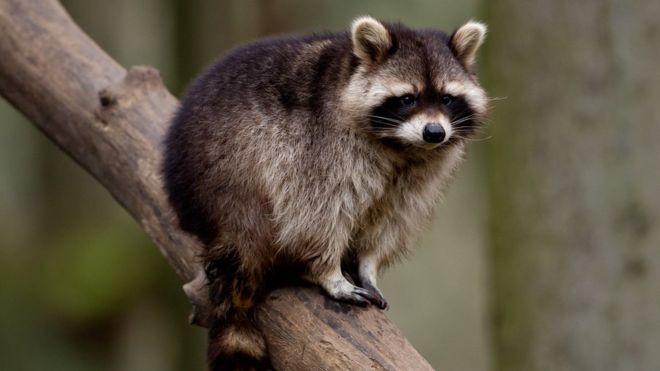 俄羅斯動物園外租浣熊「拍內衣廣告」,結果浣熊性情大變(圖/翻攝自DailyMail)
