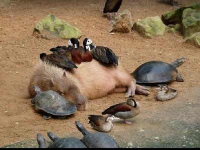 動物界人緣王!呆萌水豚跟大家都能膩在一起