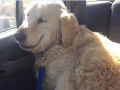 黃金獵犬開刀藥效還沒退 回家路上「睡到傻笑」