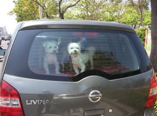 ▲只是下車一下?獨留愛犬在車內。(圖/警方提供)