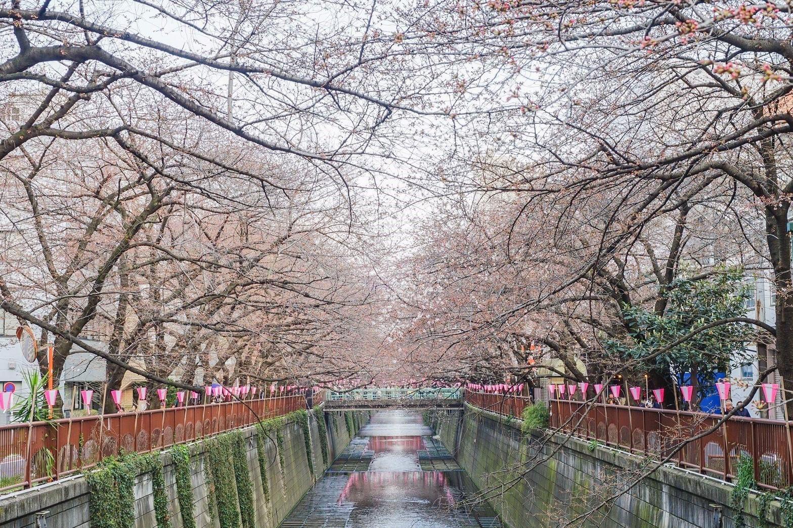 東京目黑川八幡宮櫻花已盛開。(圖/潮流編輯 Chez Kuo提供,請勿隨意翻拍,以免侵權)