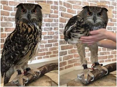 貓頭鷹肥肚肚下隱藏纖細美腿!那腿長根本超模比例