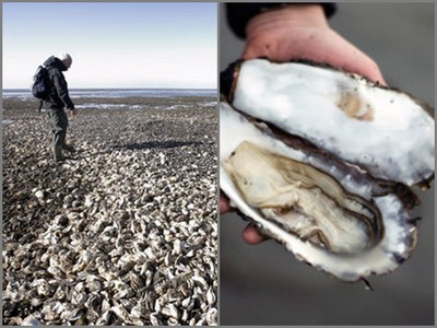 丹麥牡蠣氾濫,政府跪求人民快吃…沒用!直到被大陸人知道了…