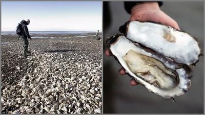 丹麥生蠔氾濫 大陸吃貨朝聖,真的挖到一箱「肥美鮮滋味」