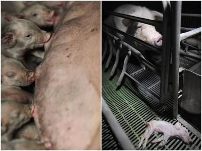 養殖場母豬關窄籠→餵奶機器 目睹小豬死在籠外卻一步也不能動