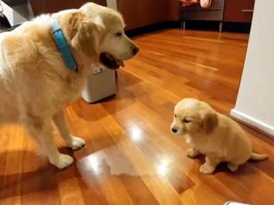 黃金興奮當哥哥,咧嘴笑還送玩具...結果隔天累慘啦!