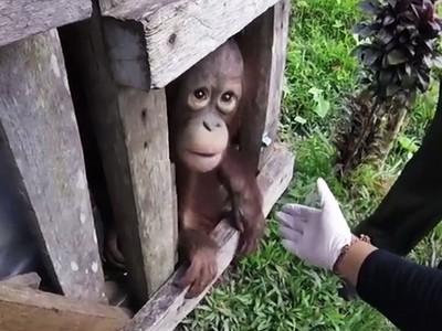 1/2人生囚禁木籠裡!惡主餵過期泡麵 小猩猩獲釋時畏光怕人