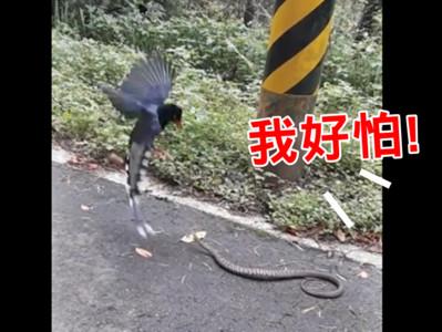 台灣藍鵲對戰臭青母 圍觀女崩潰