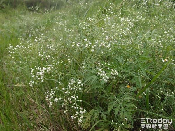 銀膠菊有毒,已大舉入侵花蓮,對生態造成破壞,花蓮縣政府籲共同防除。(圖/花蓮縣政府提供)