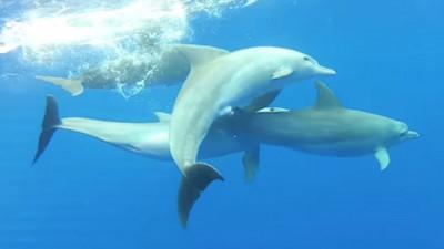 海豚怎麼交配?精蟲深入「螺旋迷宮」陰道…會甩尾才能受孕