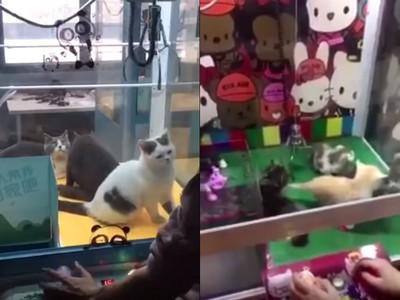 怒!活生生小貓放進「夾娃娃機」當商品 中國民眾排隊玩