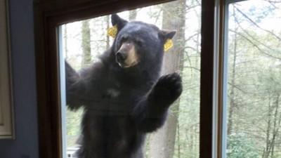 屋主烤布朗尼太香~黑熊門外緊盯蛋糕,沒吃到還生氣不走…