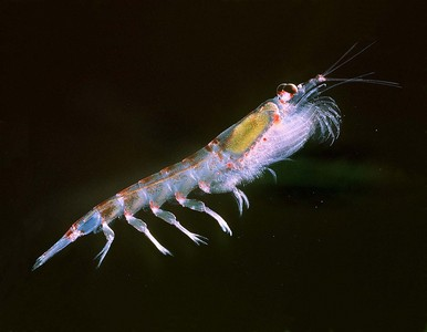 蝦磷油對付炎症有效? 藥師:蝦青素才是重點