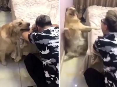黃金飛奔來秀秀,結果鏟屎官一抬頭,整隻狗嚇彈倒地!