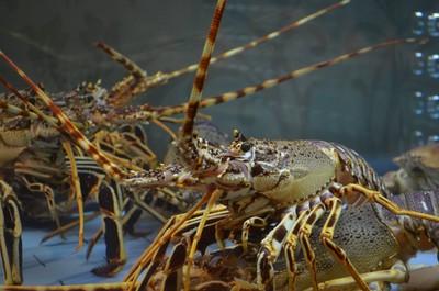 生煮龍蝦好殘忍? 其實...動物更「活在當下」!