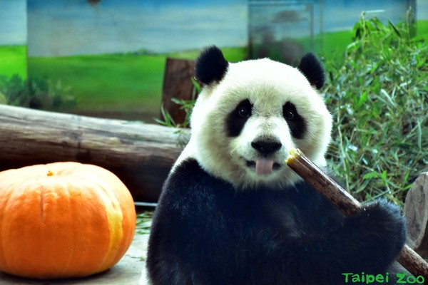 圓仔吃南瓜。(圖/台北市立動物園提供)