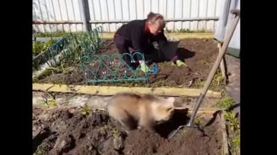 最萌園丁!俄羅斯小熊幫忙主人耕種菜園架式十足