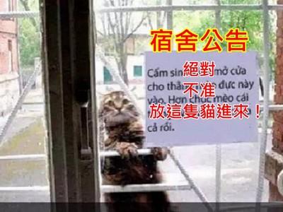宿舍狠心公告「不准放這隻貓進來!」..超過10隻母貓肚子被牠搞大啦
