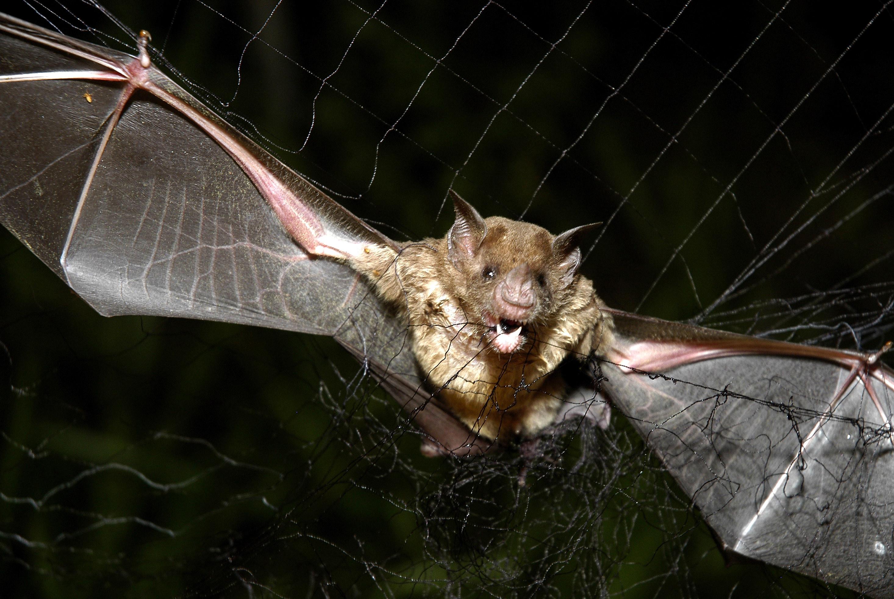 蝙蝠身上有至少200种新冠病毒洞穴还继续发展新病原体