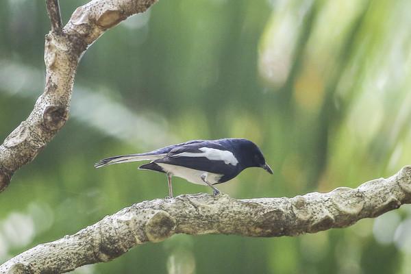 ▲鵲鴝、鳥類、賞鳥(圖/黃克翔記者攝)