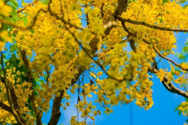 花蓮193縣道阿勃勒、鳳凰木(圖/取自花東縱谷國家風景區管理處臉書專頁)