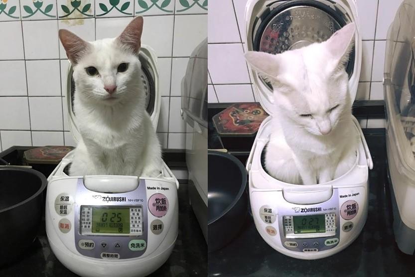 ▲「白咪飯」滿出來啦!貓貓一屁股塞進電鍋 不出來還爽度估。(圖/網友Kelly Su提供)