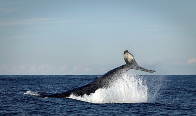 日退出國際捕鯨會 南極海捕鯨資格被取消