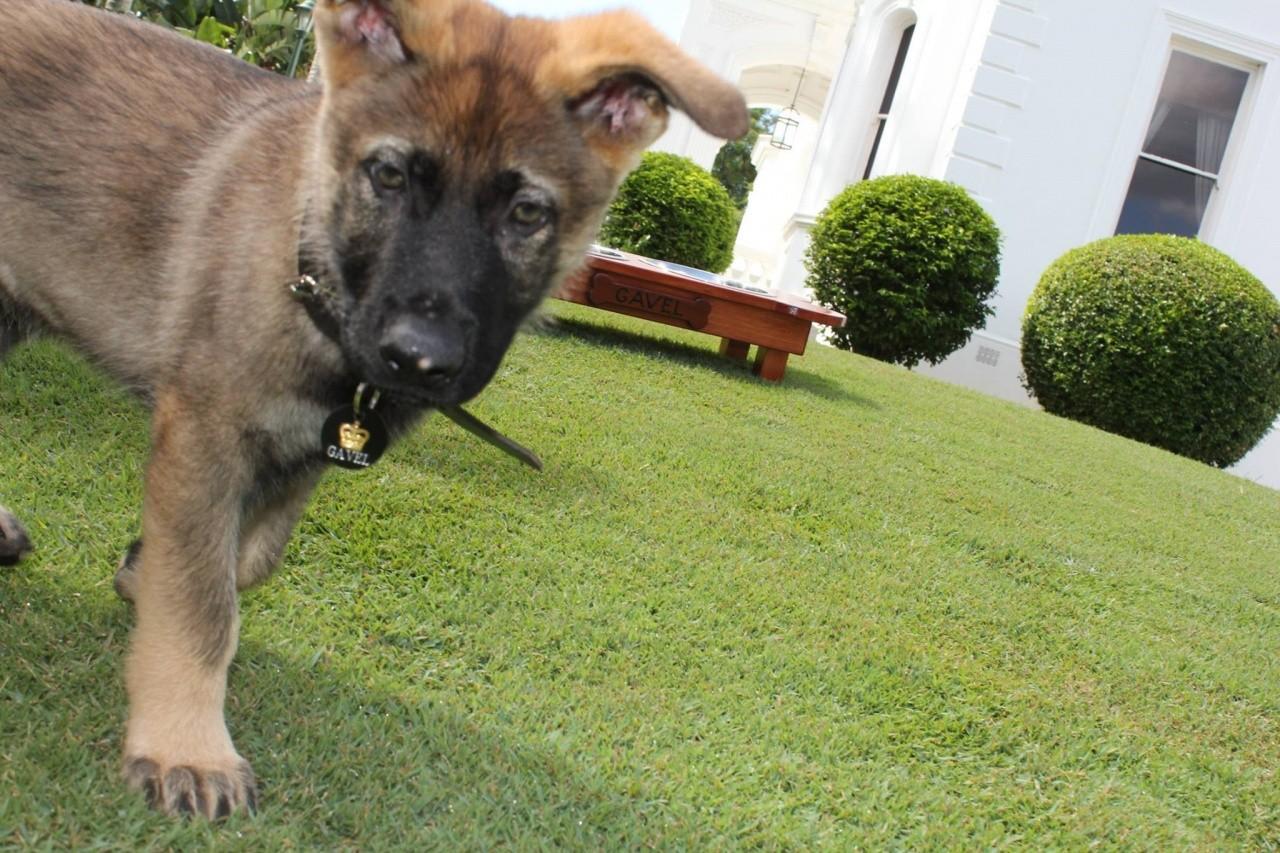 澳洲昆士蘭省總督府的迎賓犬Gavel(圖/翻攝自BBC)