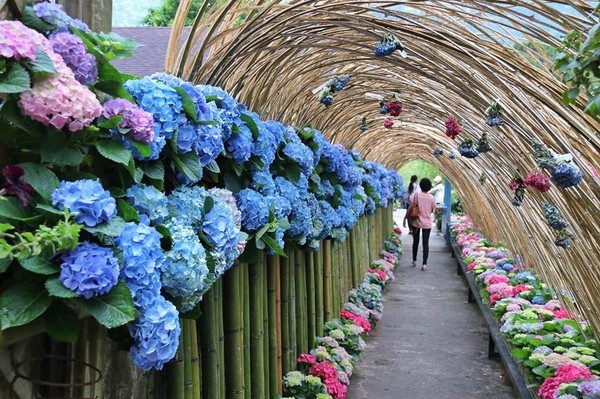 ▲超夢幻的繡球花走廊。(圖/網友伍十嵐提供,請勿隨意翻拍,以免侵權。以下皆同)