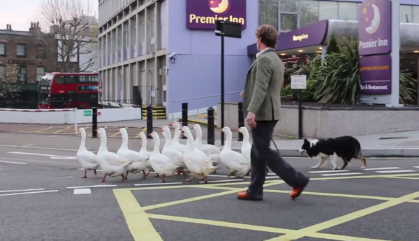 倫敦公車走下一群鵝,牧羊犬沿途盯梢:一隻都不能少!(圖/youtube翻拍)