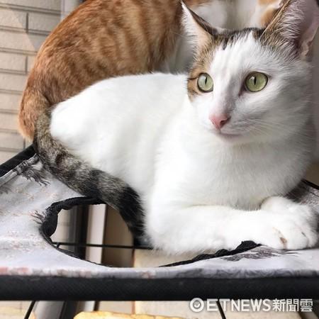 ▲貓咪垂肚肚。(圖/翻攝自露咖家 LokaLoka 我的一百種貓系生活)